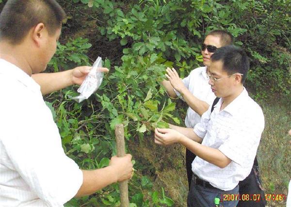 野生橡子树图片